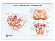 Female reproductive system anatomical wall chart - vaccuform