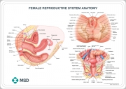 Female reproductive system anatomical wall chart
