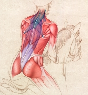 Back muscles of equestrian rider