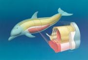 Dolphin dorsal column anatomy