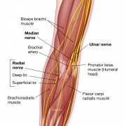 anatomy of nerves and arteries at the elbow