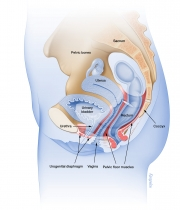 Female pelvic floor muscles