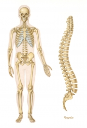 Human skeleton and vertebral column