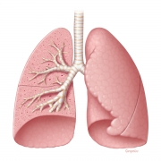 Lower respiratory system anatomy_1