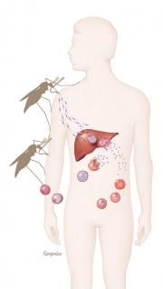 Malaria transmission