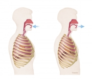 Thorax inhale and exhale movements