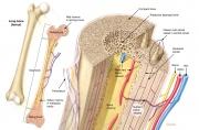 Bone Structural Anatomy