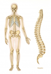 Human skeleton and vertebral column