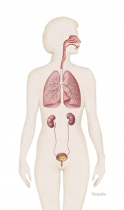 Respiratory and urinary systems