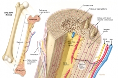 Bone Structural Anatomy