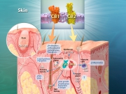 Cannabinoid receptors CB1 & CB2 - Expression and Activation in Skin