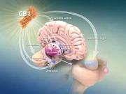 Cannabinoid receptor CB1 expression in the brain